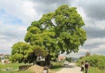 Kuşadasında anıt ağaç operasyonu