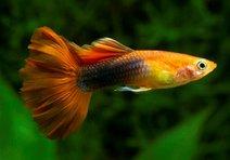 Balıklar hasta olur mu?