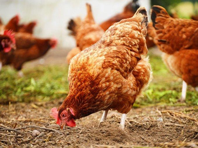 Gezen tavuklar cezaya takıldı