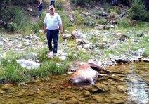 Kızıl geyikleri kurt öldürmüş