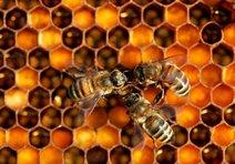 Silah ruhsatı için arıları kullanmışlar!