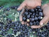Aydınlı zeytin üreticisinin tadı kaçtı...