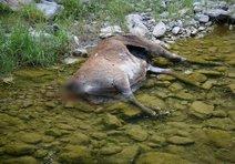 Kızıl geyikleri katlettiler